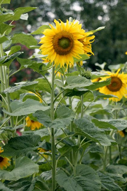 zonnebloemen zaaien