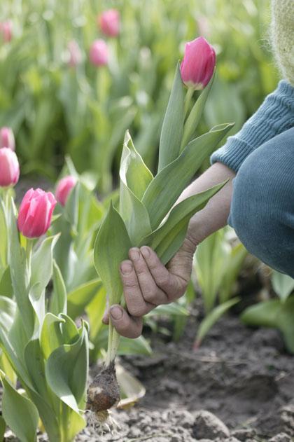 tulpen planten