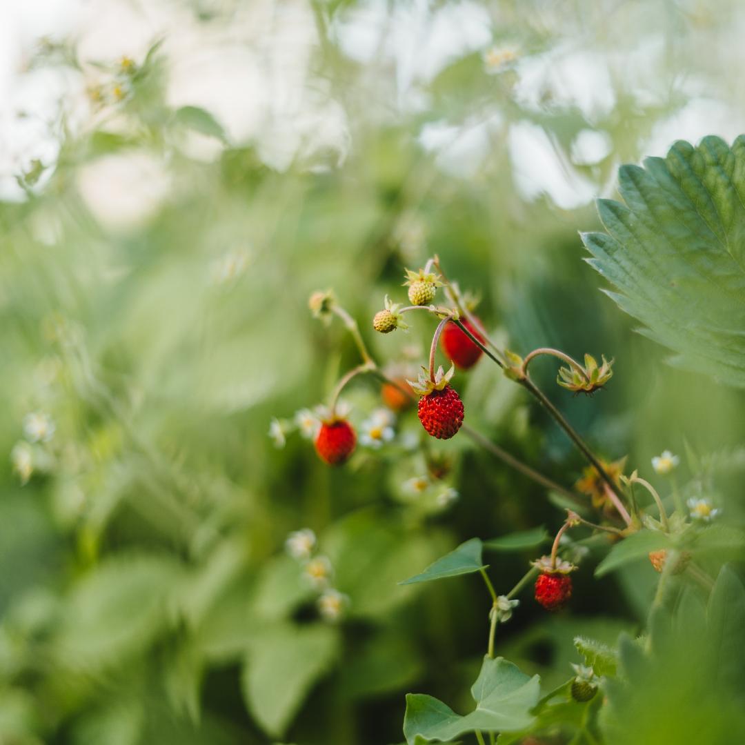 aarbeien-kweken-plant-tuinieren
