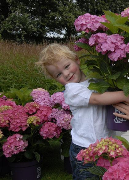 Hortensia planten