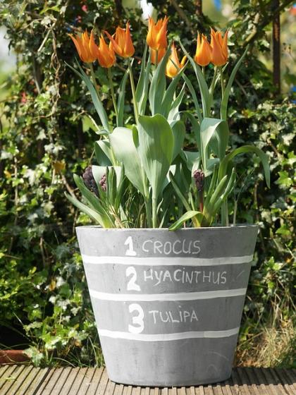 bloembollen in pot lasangebeplanting