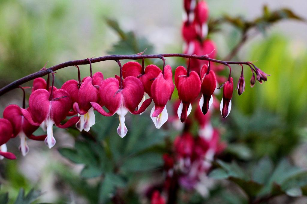 roze schaduwplant