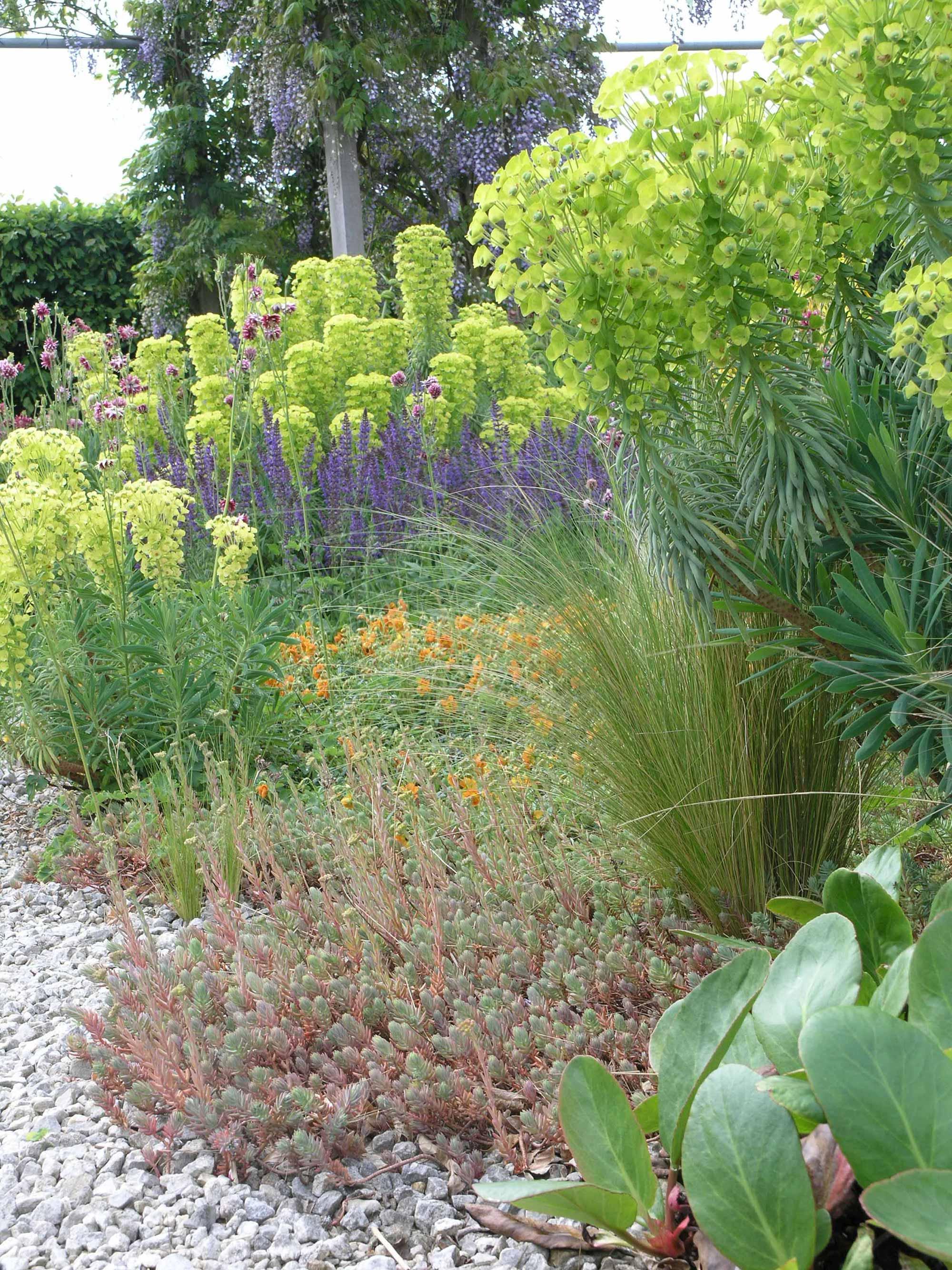 euphorbia bloemen in de tuin