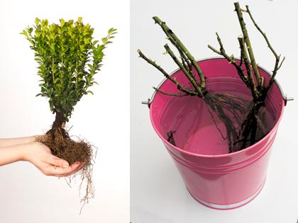 kale-wortel