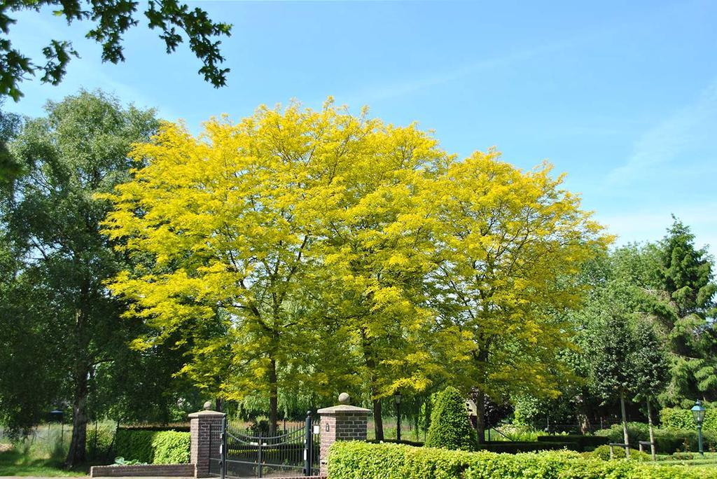 Geel in de tuin met Gleditsia triacanthos Sunburst