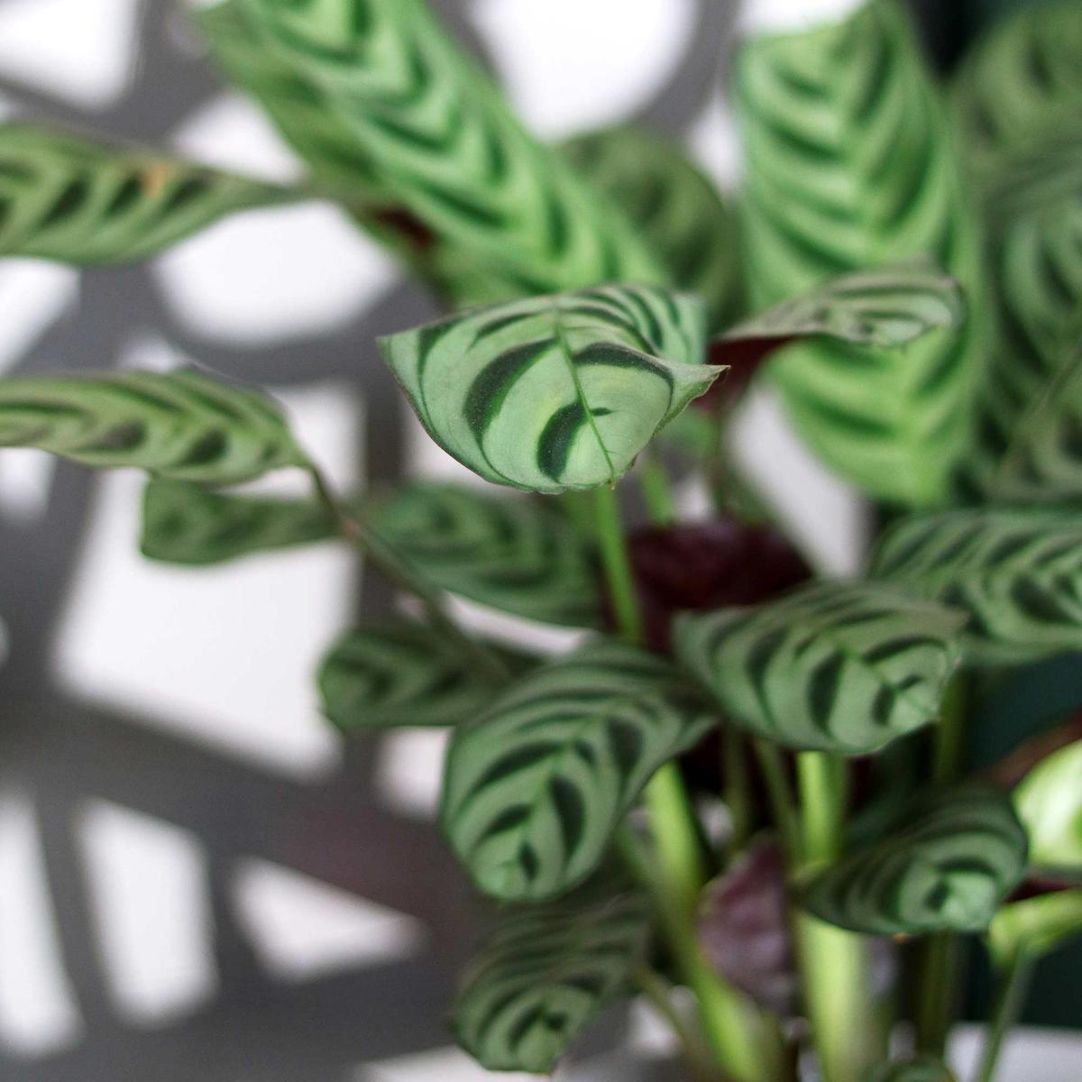 Calathea Patterned Plants My Attic