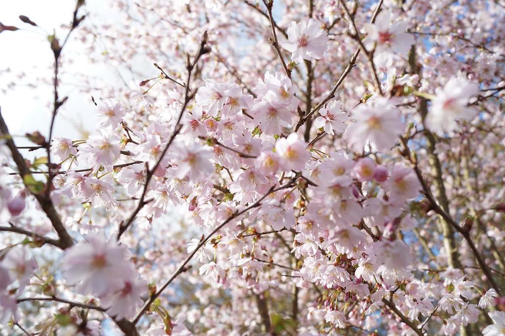 Winterbloesem: Prunus Subhirtella Autumnalis van Boomkwekerij Den Mulder