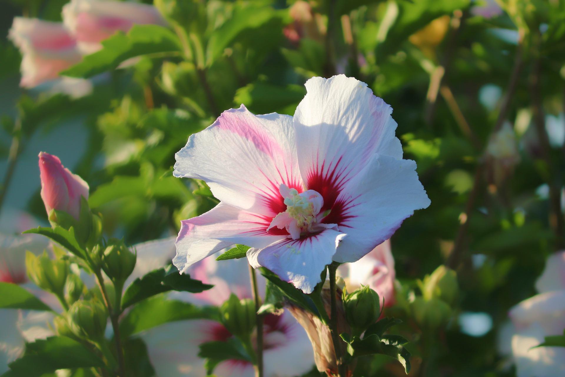 tuinieren-plant-hibiscus