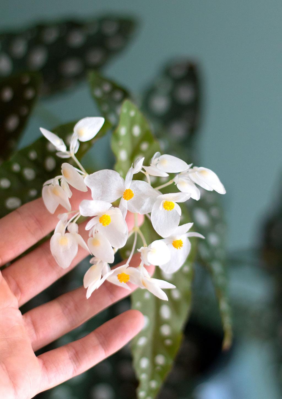 Begonia Maculata bloem
