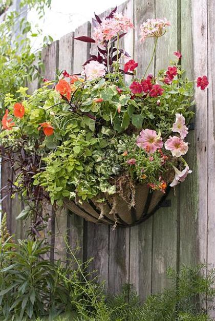 hanging basket Morning Glory, Salmon-Orange-Dark Red in Rack_420