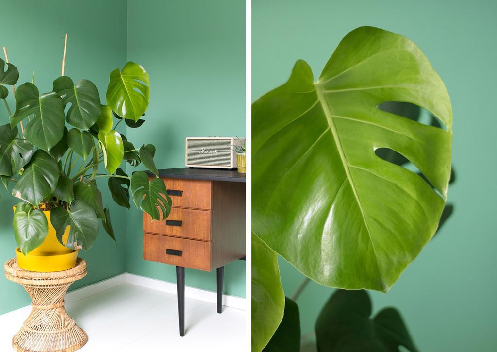 Monstera Deliciosa - gatenplant bij MY ATTIC thuis
