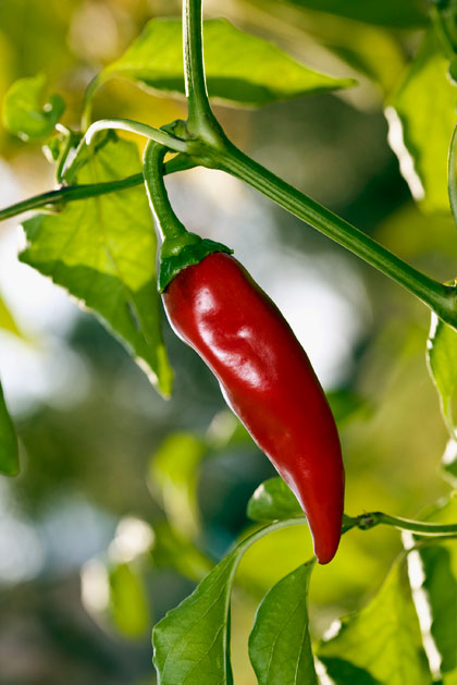 Paprika en peper kweken
