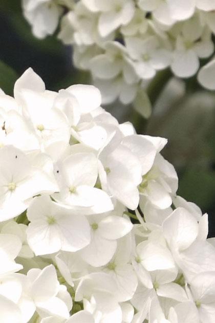 Hortensia soorten