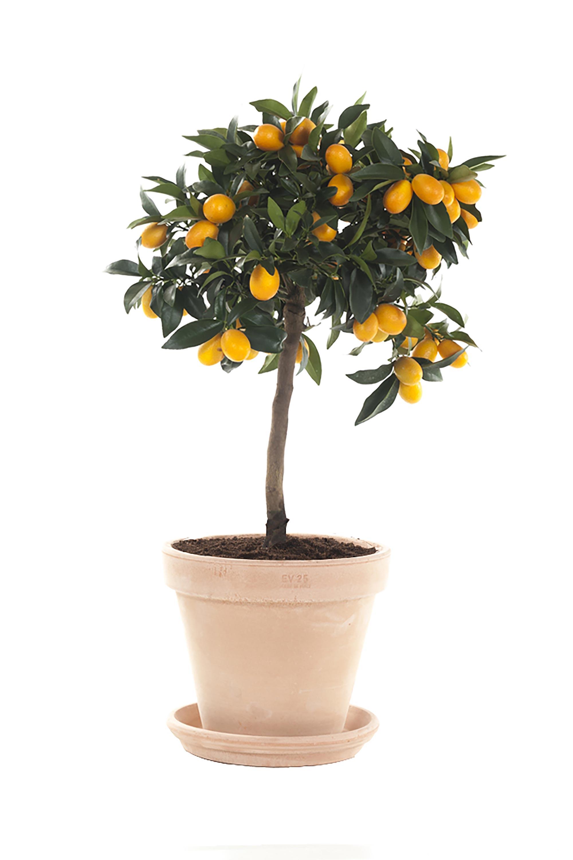 citrofortunella plant