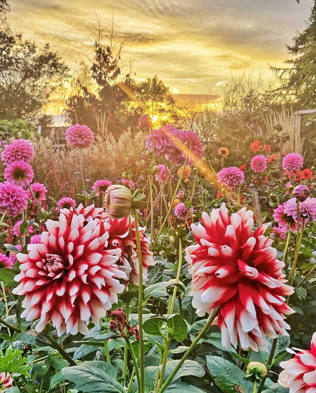 dahlia's voor een ondergaande zon
