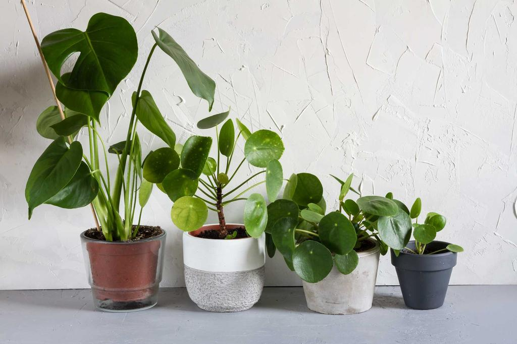 planten op een rij de gatenplant en pannenkoekenplant
