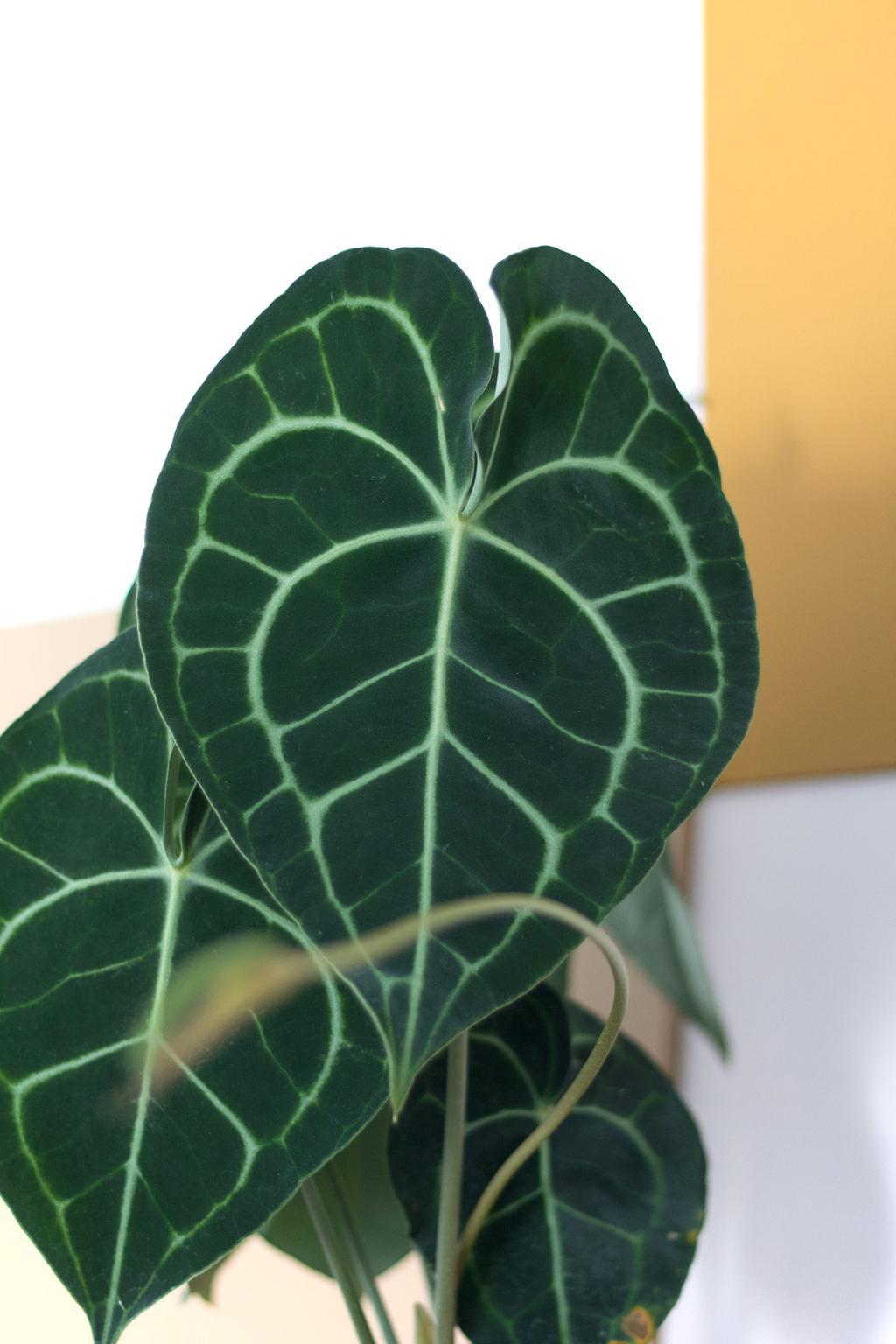 In de blog van Marij Hessel van My Attic vertelt ze over de bladeren van plant Anthurium Clarinervium.