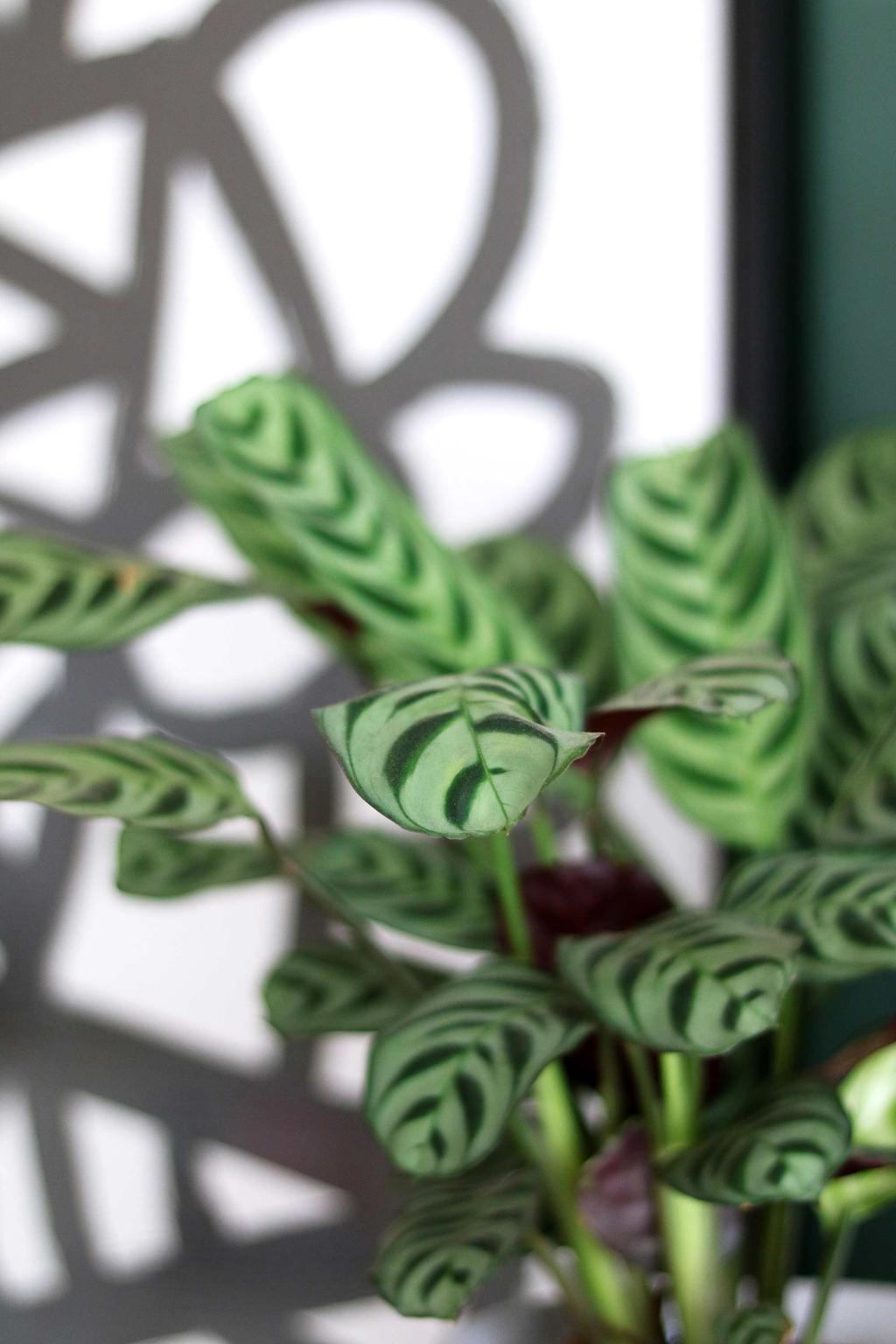 Patterned Plants Calathea My Attic