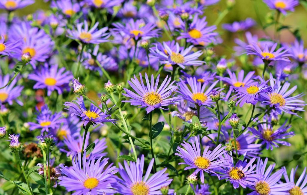 aster | bloemen in de herfst | tuin in het najaar | paarse bloemen