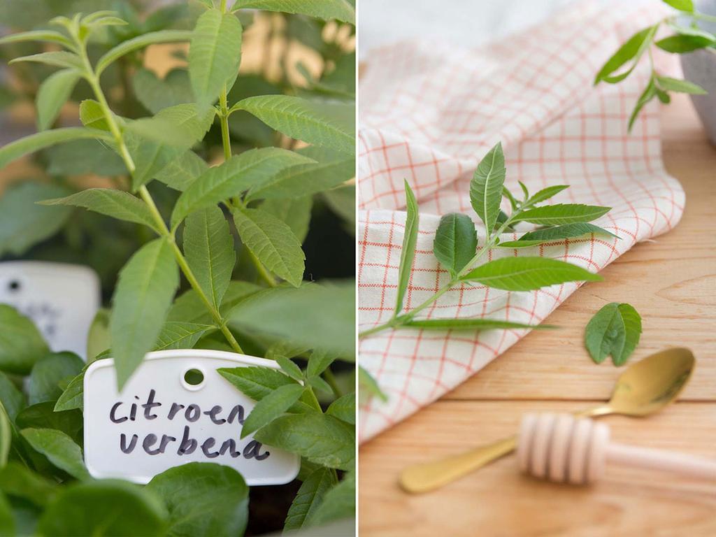 Citroenverbena plant