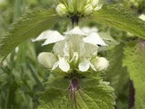 Dovenetel onkruid met witte bloemen