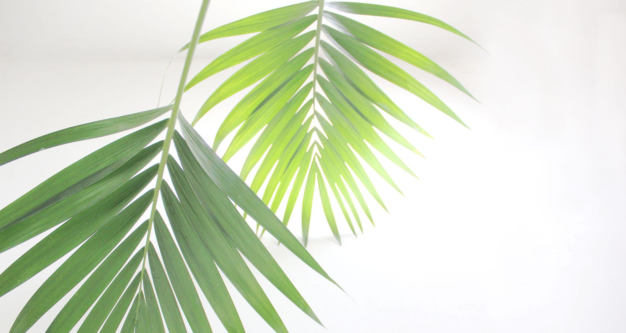 planten howeria