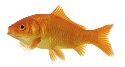 Vijver goudvis