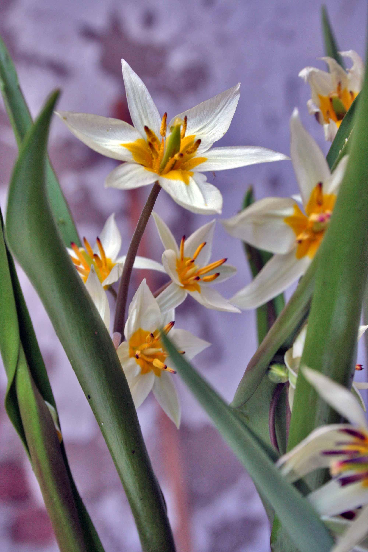 bloemen lente tulipa turkestanica