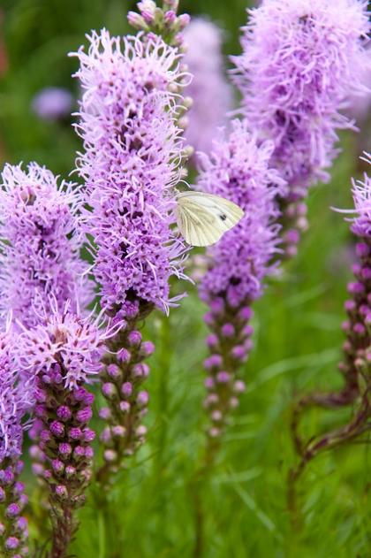 vlinders en bijen bloembollen