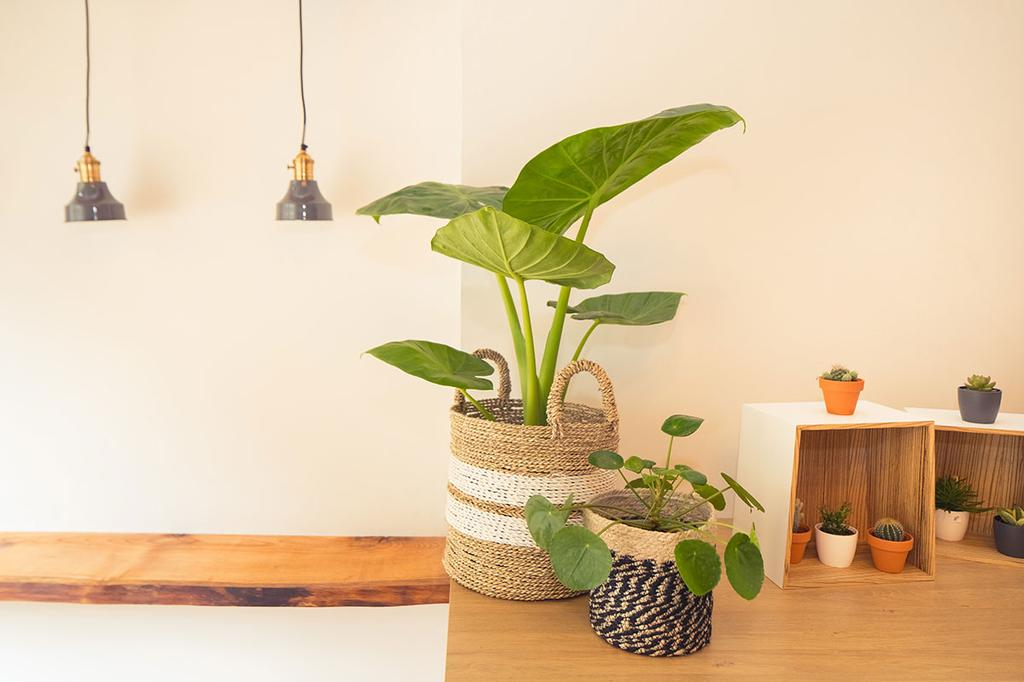 De houten toog van Gu-í gent met enkele plantjes en hanglampen.