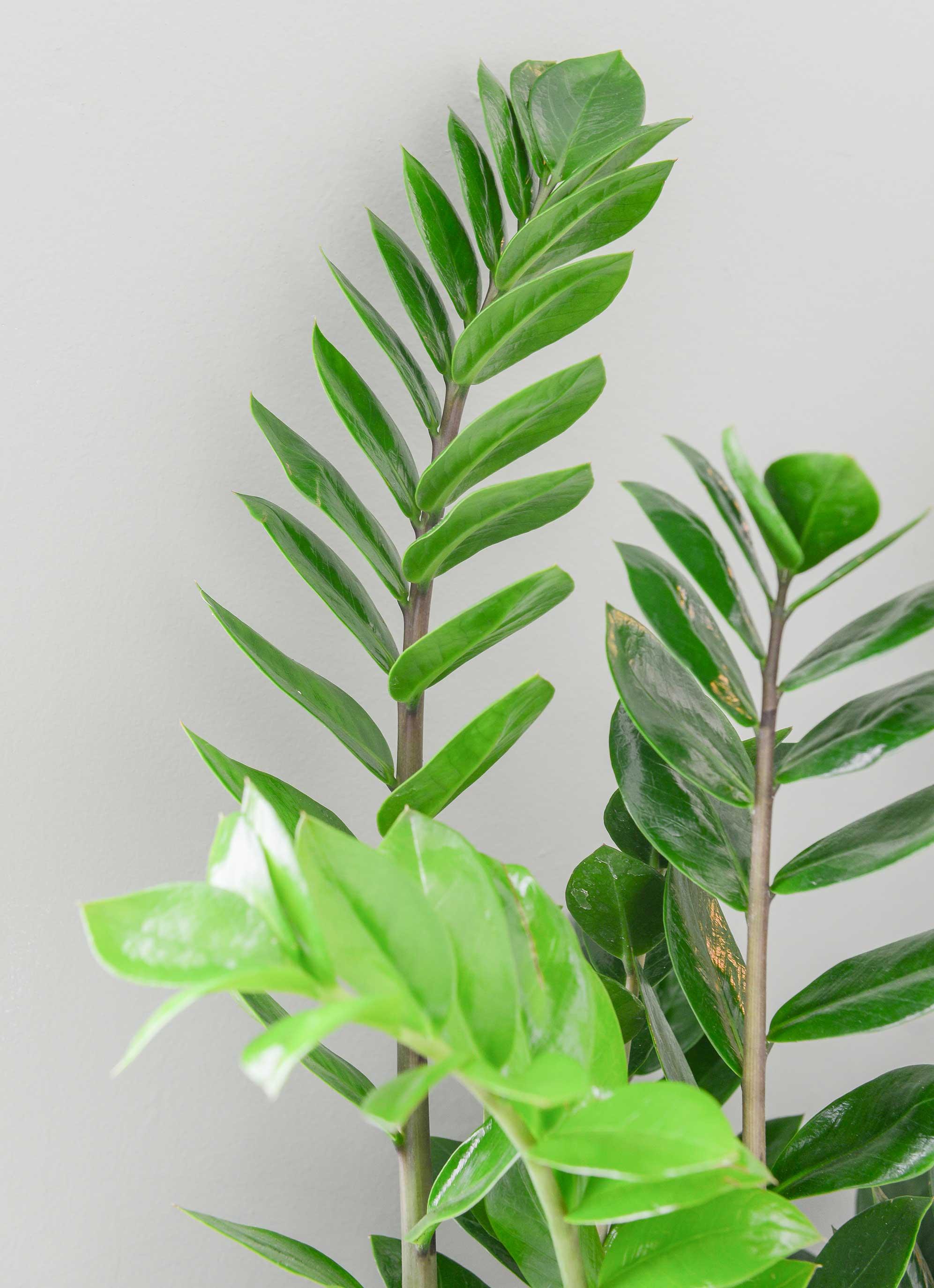 Zamioculcas bladeren
