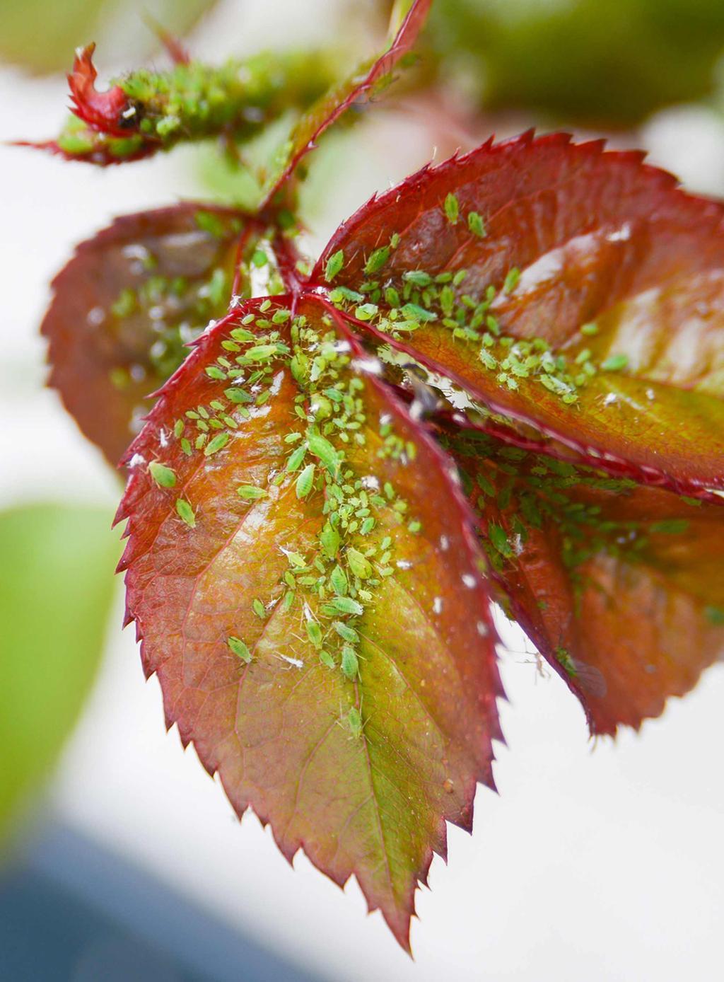 groene luizen op een rood verkleurd blad