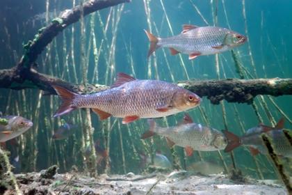 Vis voor in de vijver; blankvoorn