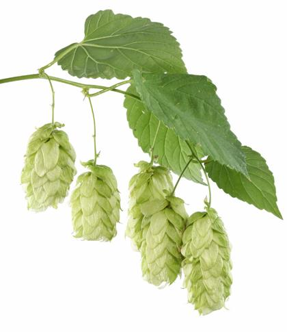 Hop plant - Hop planten - vtwonen