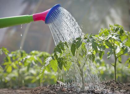 Tomatenplant verzorgen en water geven