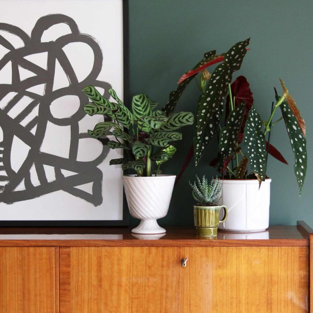 planten bijzondere bladeren kamerplanten stippenplant calathea