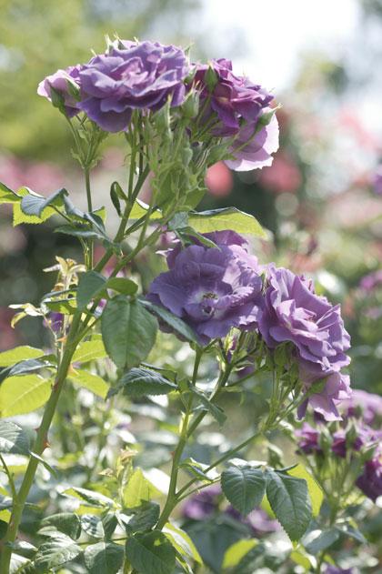 Soorten rozen