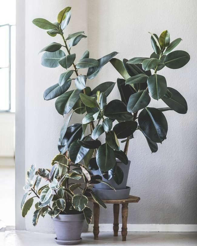 5x vulplanten voor de lege hoek - Rubberboom - Blogger Kristel - vtwonen