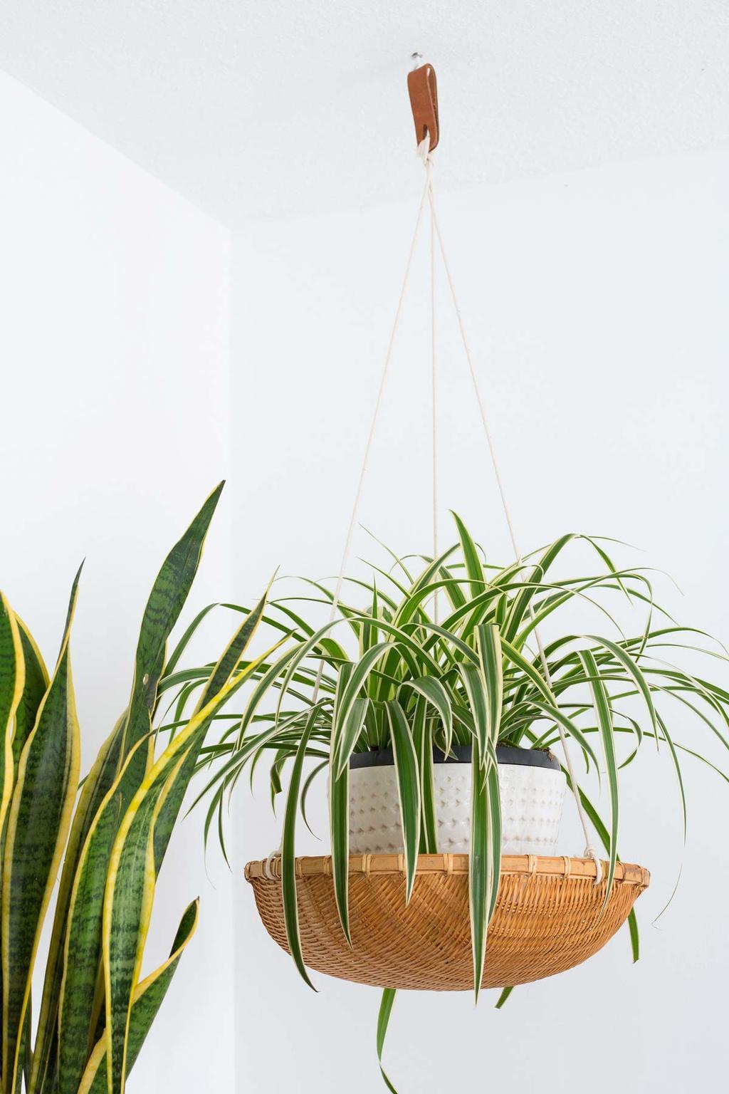 Planten in de slaapkamer - spiderplant in plantenhanger