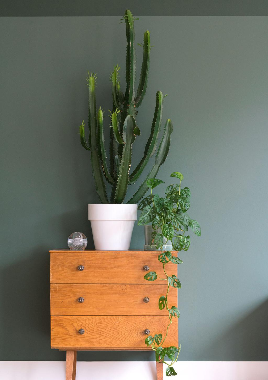 Euphorbia Trigona cactus vetplant
