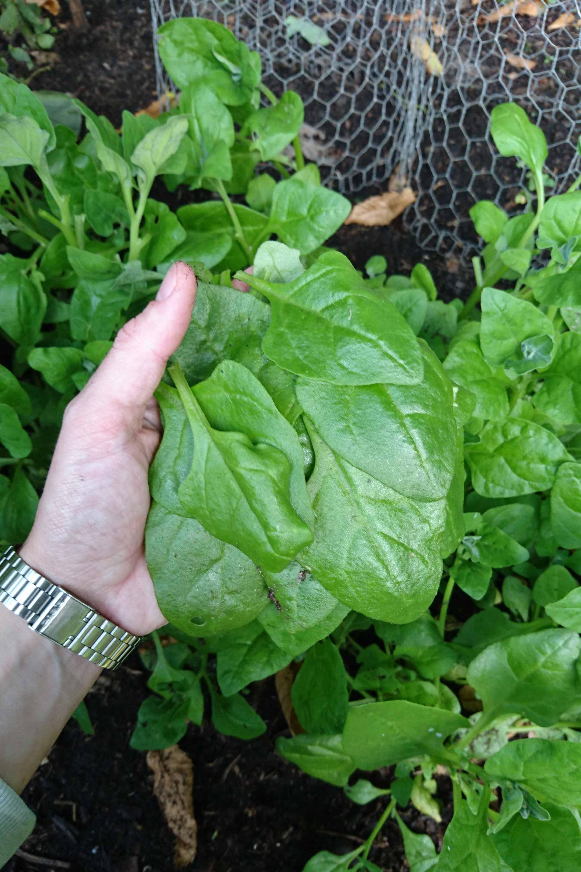 spinazie oogsten moestuin
