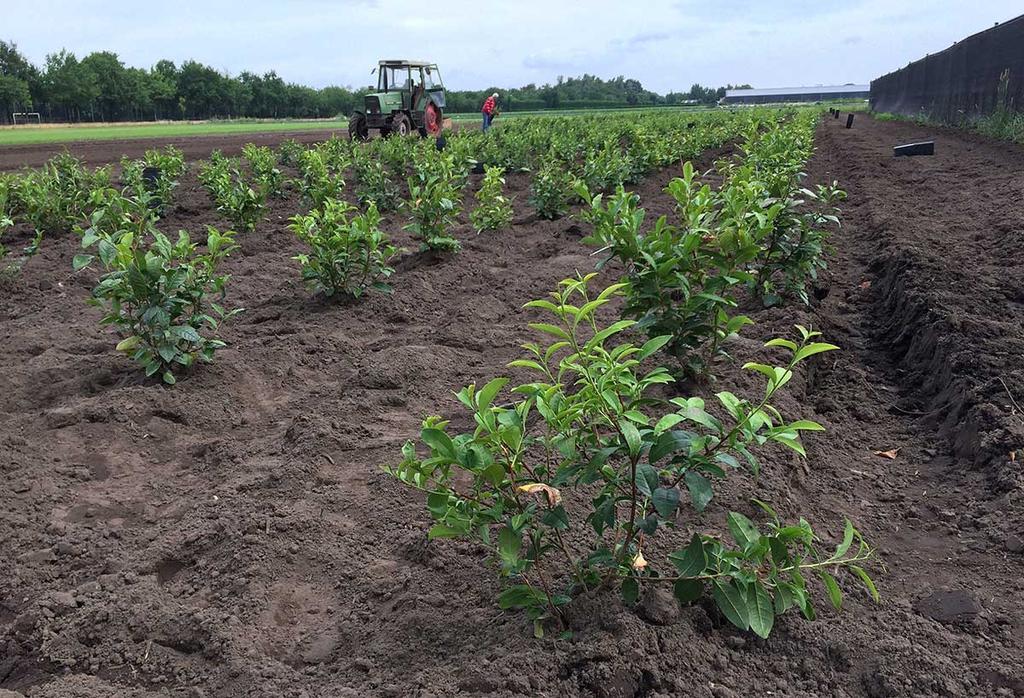 Eerste oogst van theeveld Het Zuyderblad