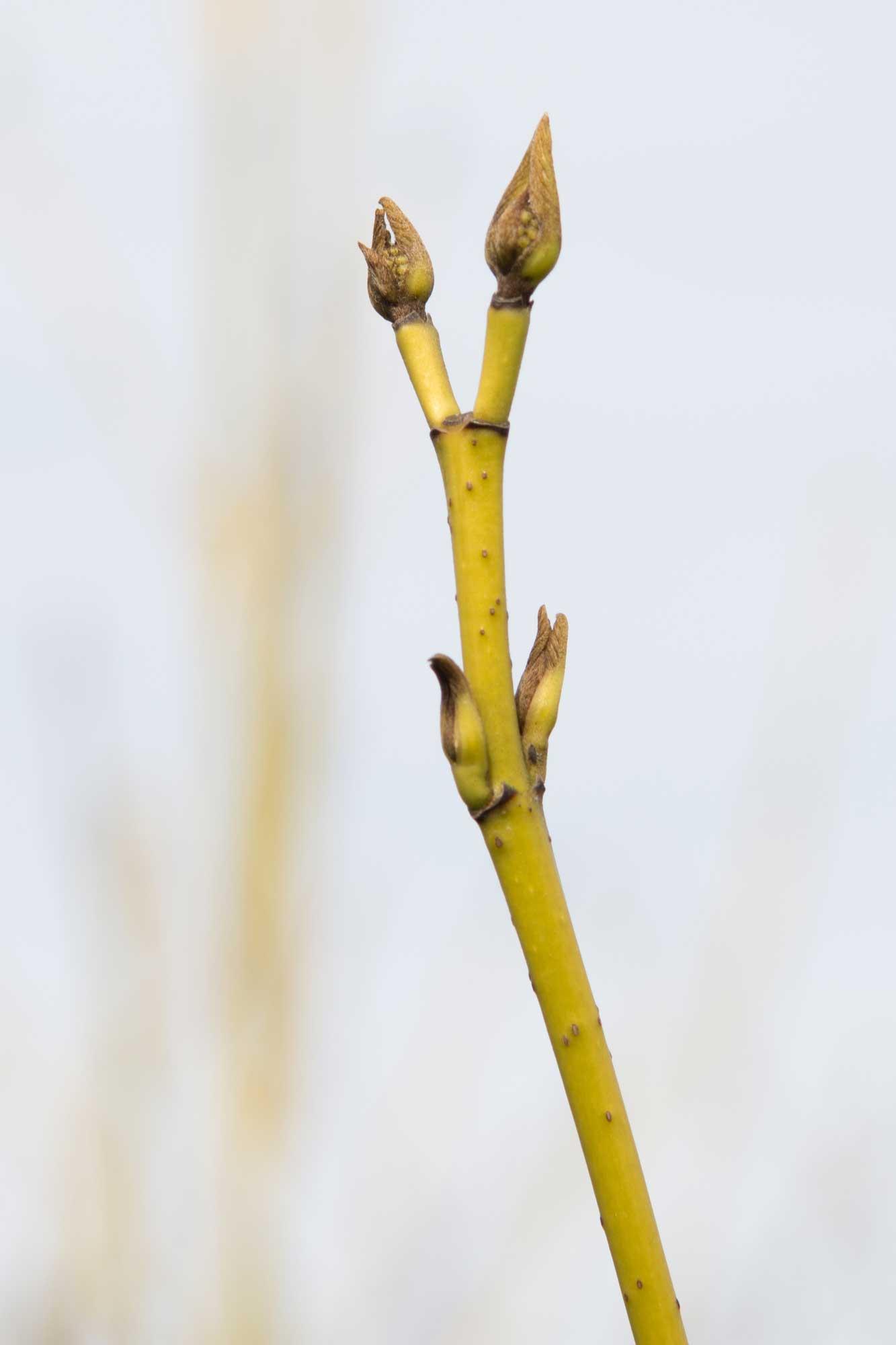 Cornus sericea Flaviramea