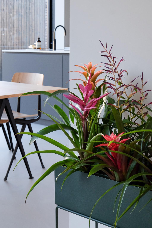 bromelia planten in bak met keuken achtergrond