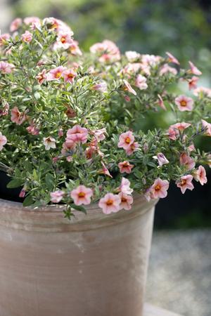 potplanten plant met roze bloemetjes in een pot