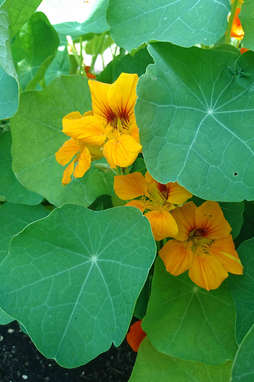 Oost indische kers eetbare bloem