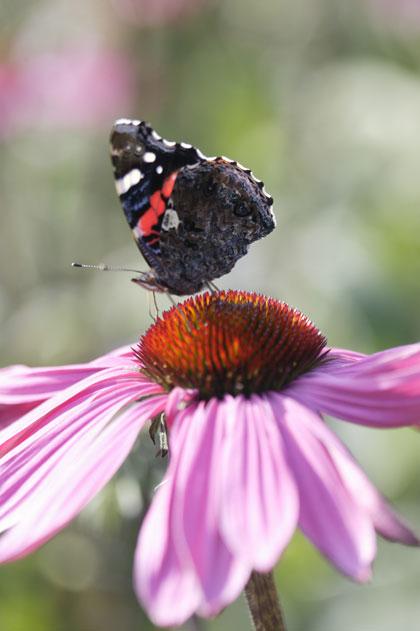 Vlinders lokken - rode zonnehoed