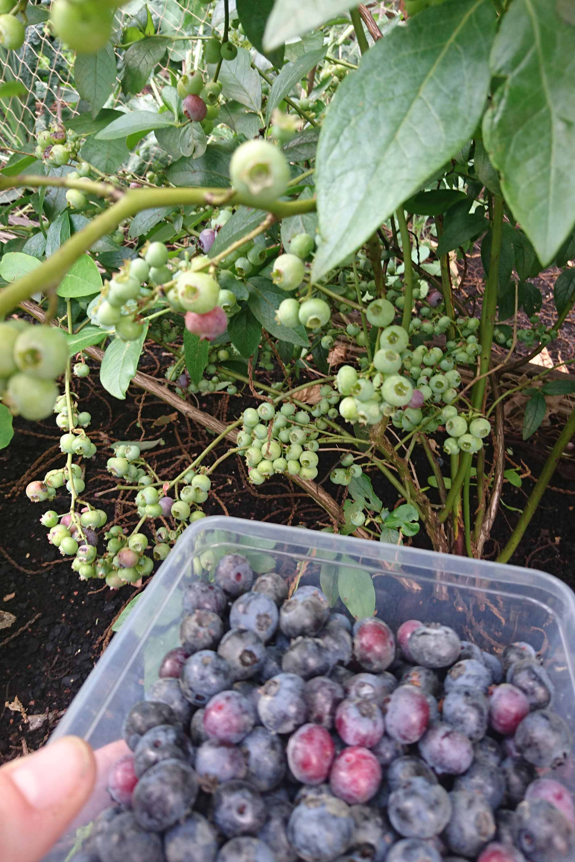 Blauwe bessen oogsten