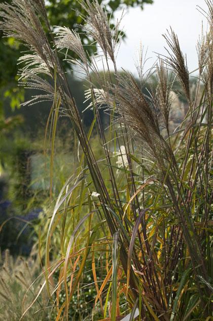 siergrassen-prachtriet