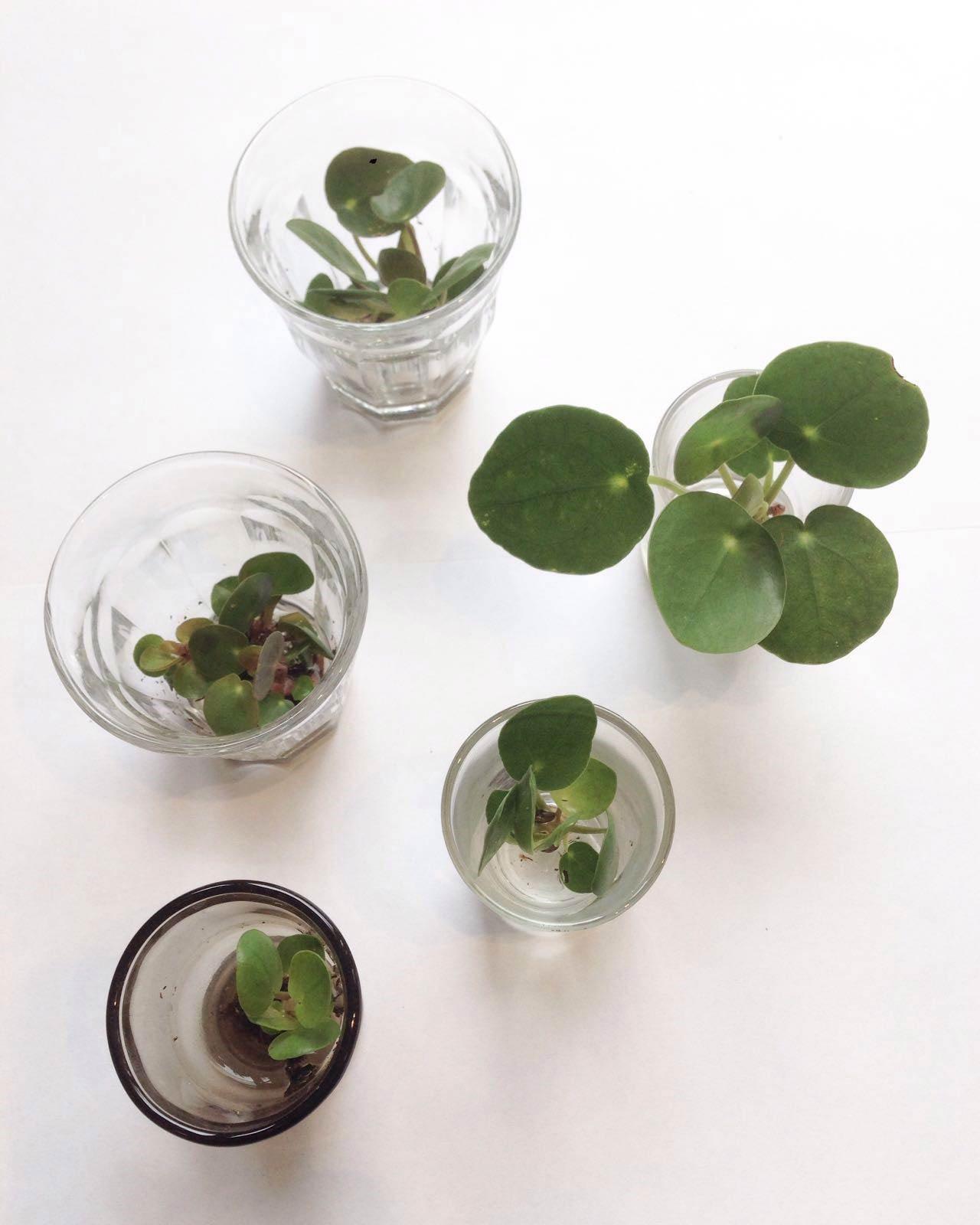Pannenkoekenplanten